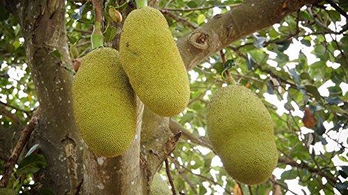 Jackfruchtbaum Artocarpus heterophyllus Jackfrucht Pflanze 20cm essbare Früchte