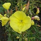 lichtnelke - Große Nachtkerze (Oenothera biennis) gelb