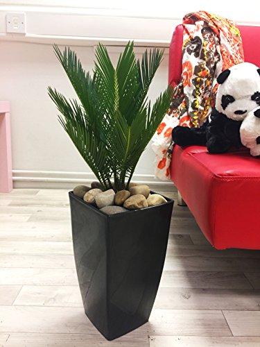 Indoor-sago Palm (Immergrüne Efeutute / Pflanze in hohem, schwarz glänzendem Milano-Topf, 1Stück)