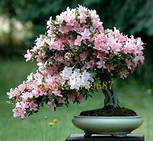 Pinkdose 10 pcs nouveau bonsaïs sur le bureau fleurs de cerisier japonais de fleurs sakura pour la décoration couleur rare pour les planteurs de pot de fleurs: 2
