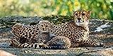 Artland Qualitätsbilder I Glasbilder Deko Glas Bilder 100 x 50 cm Tiere Wildtiere Raubkatze Foto Braun C9QI Gepard 2