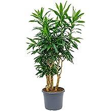 Zimmerpflanzen Wenig Licht suchergebnis auf amazon de für zimmerpflanzen wenig licht redwood