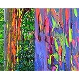 200 semillas del árbol de eucalipto del arco iris deglupta SEMILLAS DEL ARCO IRIS árbol de eucalipto para la plantación de jardín de casa