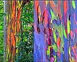 200 Regenbogen Baumsamen Eucalyptus deglupta RAINBOW EUKALYPTUSBaumSamen für zu Hause Garten Bepflanzung