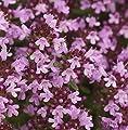 Breitblättrige Thymian - Thymus pulegioides von Baumschule - Du und dein Garten