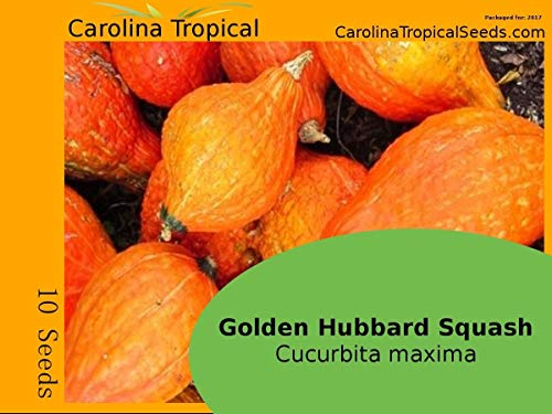 Homely Goldener Hubbard-Kürbis Goldener Kürbis (Cucurbita Maxima) 10 Saatgut