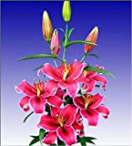 #8: Fragrant Oriental lily dark pink (Corvara) Pack of 3 bulbs