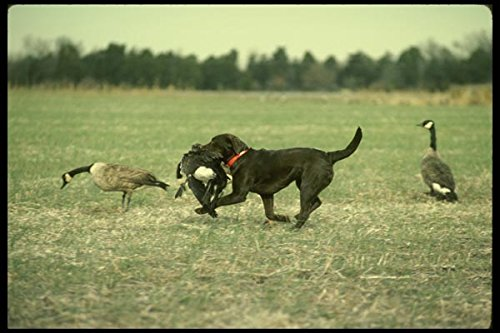 195094 Chocolate Lab Retrieves Canada Goose A4 Photo Poster Print 10x8 Libby Lab