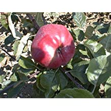 Amazon Fr Arbre Fruitier Pommier