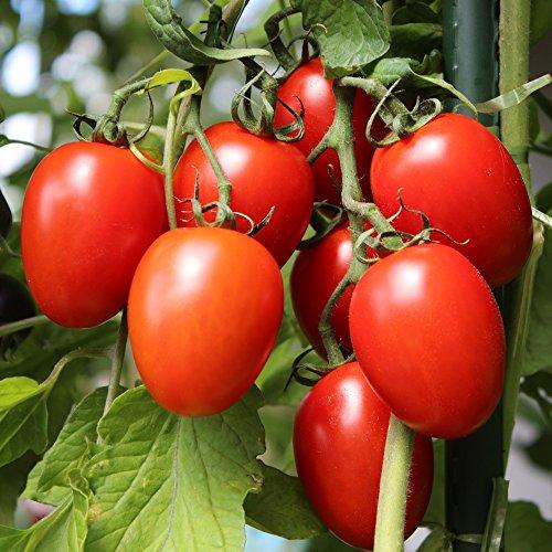 10-samen-rio-grande-tomate-pilz-und-fulnisresistent-sehr-ertragreich