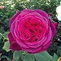 Tantau, Edelrose 'Johann Wolfgang von Goethe Rose ', 1 Pflanze, 2 Liter Topf, purpur-violette Blüten von Tantau auf Du und dein Garten
