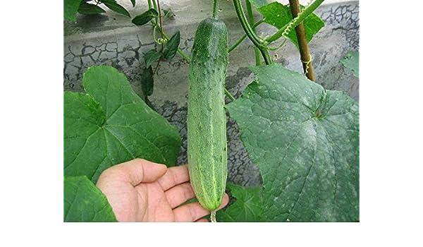 Vert et Heath pour Jardin 100seeds // Sac graines de Concombre Semer Concombre graines de Fruits de l/égumes Heirloom Bio