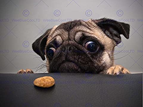 ANIMAL PHOTOGRAPHY PORTRAIT PUG DOG TREAT FOOD EYES CUTE 30x40 cms ART POSTER PRINT PICTURE CC6254