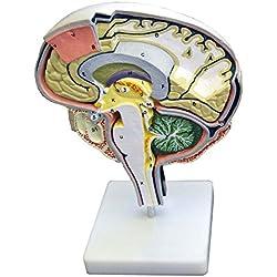 Anatomía Modelo Cerebro con colores y partes numeradas