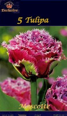 """Rarität: Gefranst - Gefüllte Tulpe """" Mascotte """" von MOSSELMAN auf Du und dein Garten"""