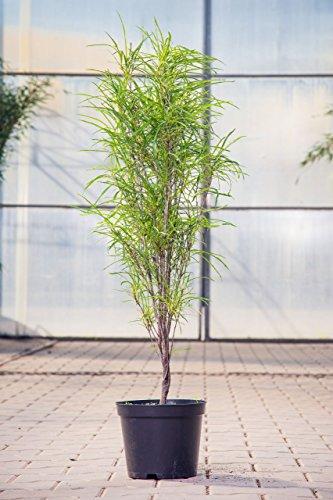 Farnblättriger Faulbaum Fine Line 40-60 cm Strauch für Sonne-Halbschatten Zierstrauch dunkelgrünes Laub Nadelpflanze winterhart 1 Pflanze im Topf