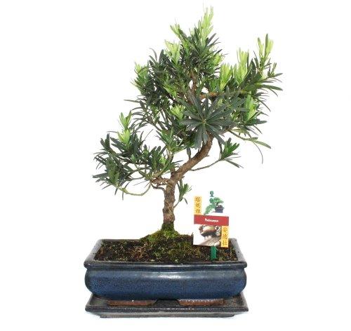 Bonsai Steineibe - Podocarpus macrophyllus - ca. 10 Jahre