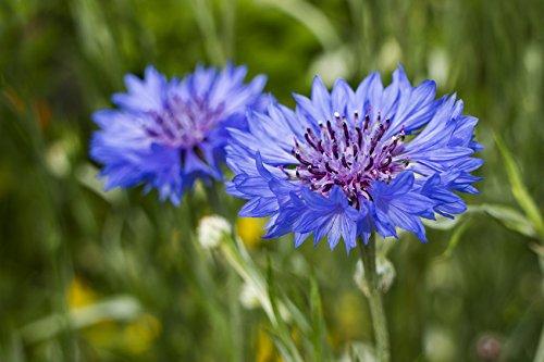 Kornblume (Centaurea cyanus) / ca. 50 Samen / steht unter Naturschutz / auch als Balkon- & Kübelpflanze / frostverträglich