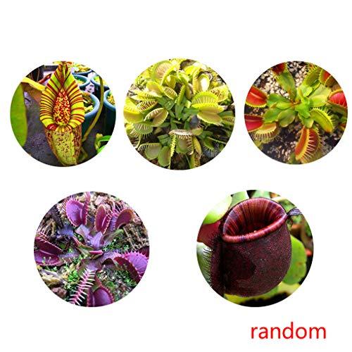 Kannenpflanze Kannenpflanze -