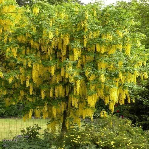 Tomasa seedhouse- maggiociondolo, rampicanti piante rustiche perenni semi di fiori ornamentali arbusti rarità piante ornamentali per balcone, muro, giardino, fattoria