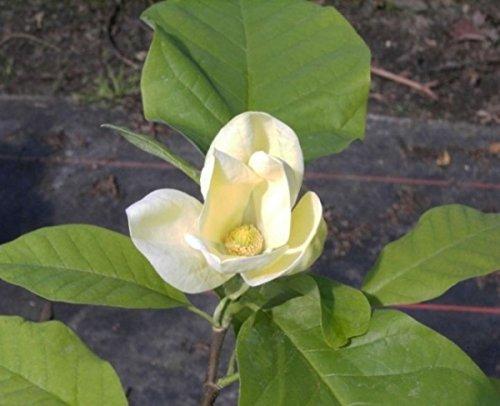 Magnolie Gelbe Blüte