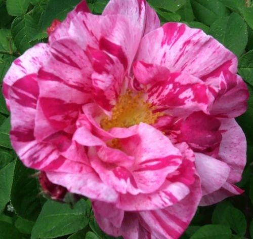 rosa-shrub-rose-rosa-mundi-plant
