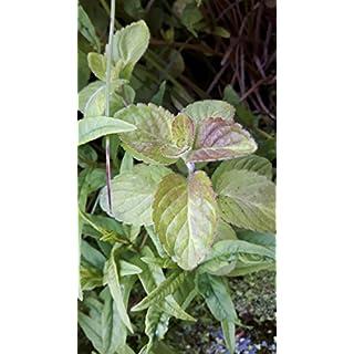 Mentha AQUATICA Water Mint Scented Marginal/Aquatic Flowering Plant