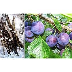 Portal Cool 10X Samen: 4 Stecklinge Samen Prune Pflaumenbaum Prunus domestica Scions Sticks Bud Verpflanzen