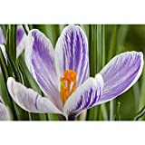 Crocus vernus 'Pickwick', Frühlings-Krokus lila-weiss, im Topf 9 cm vorgetrieben