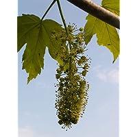 Berg-Ahorn (Acer pseudoplatanus) 50 Samen (Heimischer Baum - Winterhart)