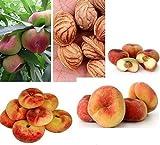 3x Plattpfirsich Pfirsich Tellerpfirsich Obst süß lecker frisches Saatgut Garten Obstsamen Samen #354