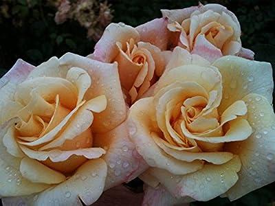 """Edelrose """"Oh Happy Day ®"""" von Agel Rosen - Du und dein Garten"""