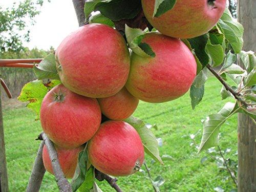 Fruchtbengel, Apfelbaum Jonagold, Malus domestica, großfrüchtig, fein-säuerlich, saftig