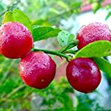 Aiden Gardens Rare Red Lemon Tree Seeds High Survival Rate Fruit Seeds 20 Seeds pack
