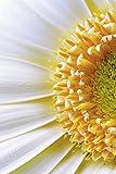 Artland Qualitätsbilder I Poster Kunstdruck Bilder 80 x 120 cm Botanik Blumen Blüte Foto Weiß C1EG Blütendetail Einer Gerbera