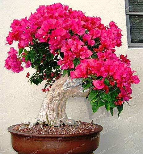 100 pz crape mirto - lagerstroemia indica 'natchez'flower bonsai cortile myrtle fiori giardino della casa vaso da fiori: 9