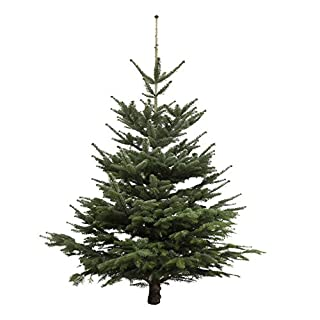 Christmas Tree Nordmann Fir 145 to 160 cm High Chopped