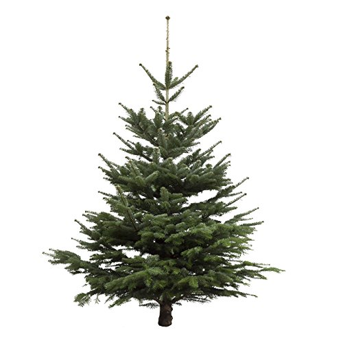 Amazon.de Pflanzenservice Echter Weihnachtsbaum Nordmanntanne, Höhe ca. 145 - 160 cm, Premiumqualität, frisch geschlagen