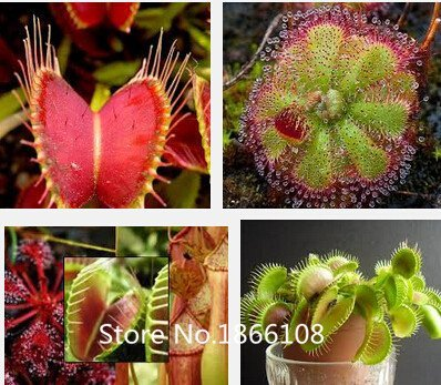 Home & Garden 100 Mix carnivore carnivore Lot espèces Graines - Venus Flytrap et Sundews Bulk Lot de graines de bonsaï Verieties Flowe