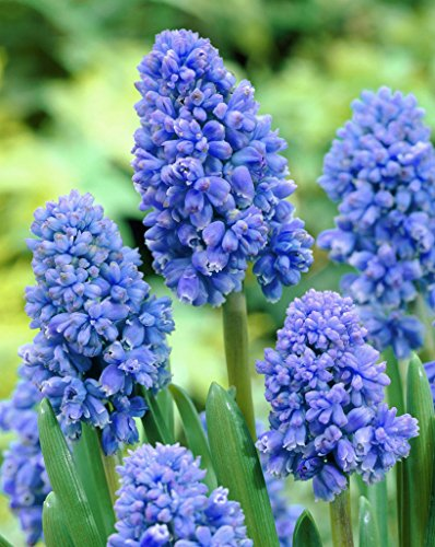 Muscari Blue Spike (Muscari Blue Spike - Traube Hyacinth Blue Spike - 10 Blumenzwiebeln)
