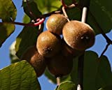 Jenny Kiwi selbstfruchtbar, Kiwistrauch Busch, Actinidia arguta, Obstbaum winterhart, Kiwi braun, im Topf, 60 - 100 cm