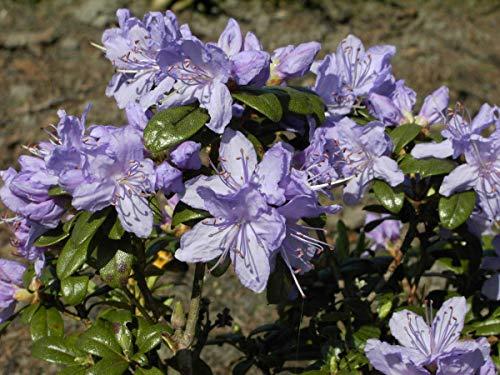 Rhododendron russatum 'Azurwolke' - Im 2 lt. Topf, Höhe ca. 20-25cm