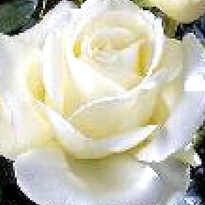 Roy Black® Edelrose von Rosen-Weber bei Du und dein Garten