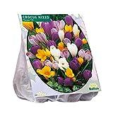 50 Krokusse großblumig gemischt - Blumenzwiebeln