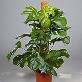 Monstera Pertusum am Moosstab,Köstliche Fensterblatt,105cm +/-, Zimmerpflanze