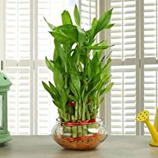 Lucky Bamboo 3 Layer Nurture Exotic Green Plant For Lucky and Prosperity by URMIKA PLANTS