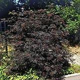 Holunder 'Black Lace' ® - Sambucus nigra 'Black Lace' ® - Ziergehölz