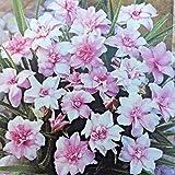 Portal Cool Rhodohypoxis Alpine Lily Jean Perennial 9 cm und 3,3 Pot. 2 Für 8,99 £