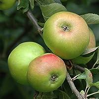 YouGarden Apple Bramley Fruit Tree, 5 Litre Pot