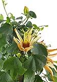 Passiflora aurantia - Passionsblume mit orange-roten Blüten - fantastische dauer blühende Pflanze aus Australien für Terrasse, Balkon und Garten
